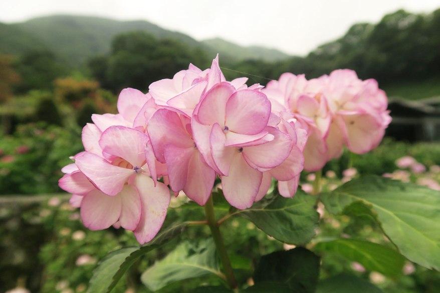 taibei_flower_116